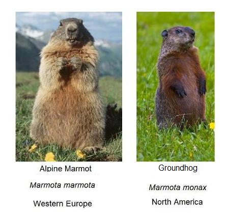 Marmot and Groundhog